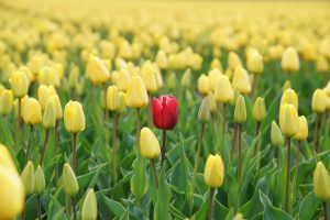 lone red tulip in a field of yellow tulips